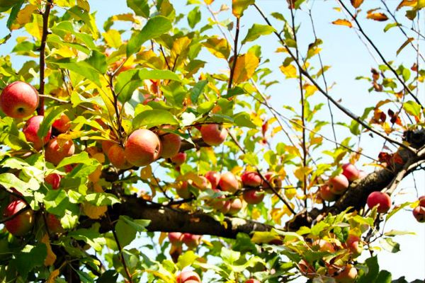 R-and-A Orchards