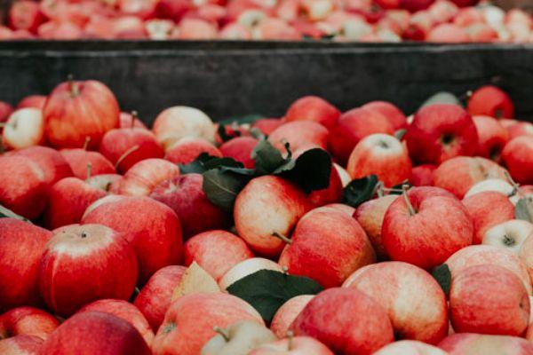 plenty of red apples